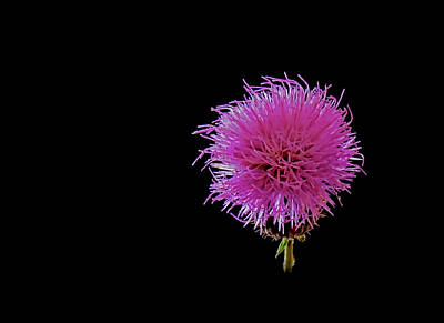 Photograph - Thistle by Stuart Harrison