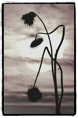 Photograph - Thistles At Sunrise by Garry McMichael