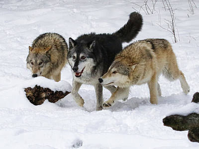 Photograph - Three Bad Wolves by Steve McKinzie