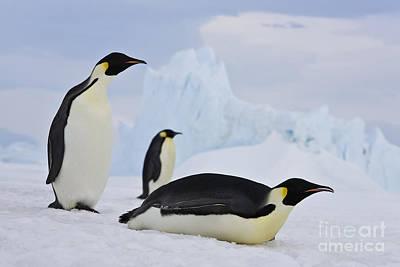 Three Emperor Penguins Art Print