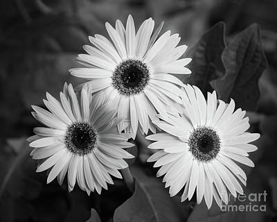 Photograph - Gerbera Three by Patrick M Lynch