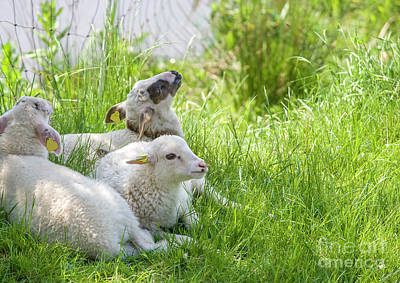 Art Print featuring the photograph Three Little Lambs by Patricia Hofmeester