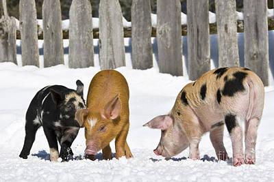 Three Piglets Art Print