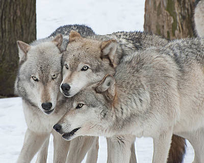 Three Wolves Are A Crowd Art Print