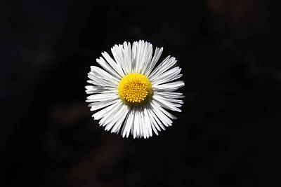 Art Print featuring the photograph Tidy Fleabane by Charles Ables