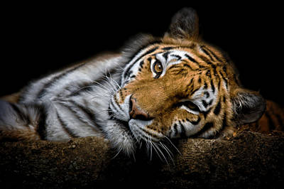 Photograph - Tiger 2  by Emmanuel Panagiotakis