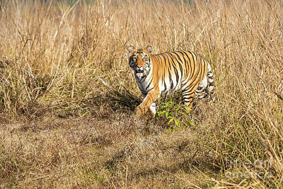 Photograph - Tiger In The Grass by Pravine Chester