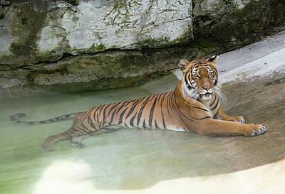 Photograph - Tiger by John Black