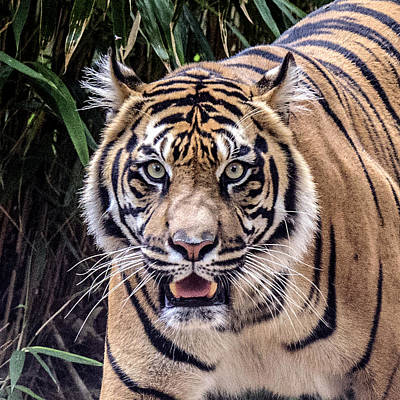 Photograph - Tiger Portrait Headshot by William Bitman