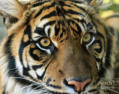 Photograph - Tiger by Richard Smith