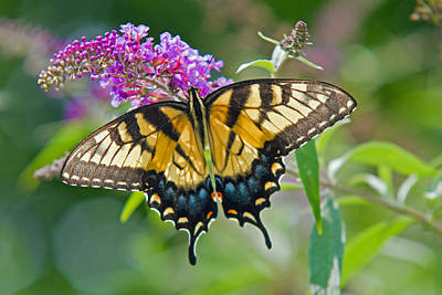 Photograph - Tiger Swallowtail Butterfly. by David Freuthal