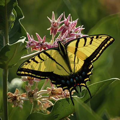 Photograph - Tiger Swallowtail by Ernie Echols