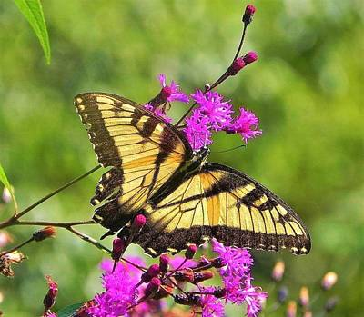 Photograph - Tiger Swallowtail by Gary Edward Jennings