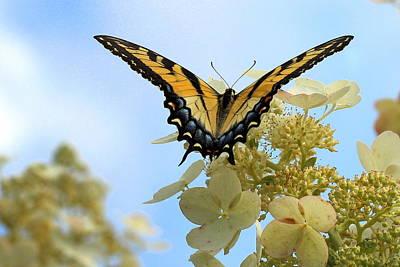 Photograph - Tiger Swallowtail by Joseph Skompski
