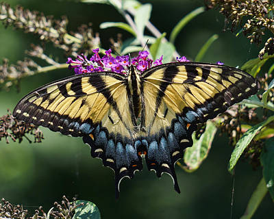 Photograph - Tiger Swallowtail by TnBackroadsPhotos