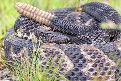 Timber Rattler Photograph - Timber Rattlesnake by Derek Thornton