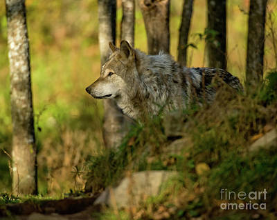 Timber Wolf In Forest Original