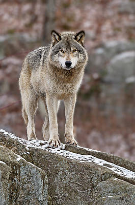 Timber Wolf On Rocks Art Print by Michael Cummings