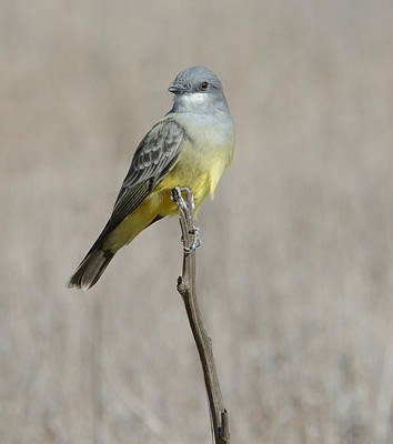 Kingbird Photograph - Tip Top by Fraida Gutovich