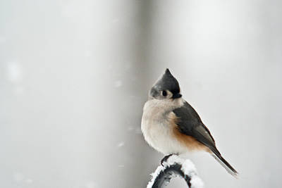 Parus Bicolor Photograph - Titmouse In The Snow by Douglas Barnett