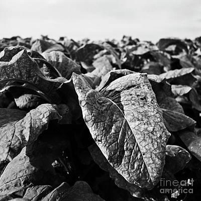 Photograph - Tobacco 2 by Patrick M Lynch