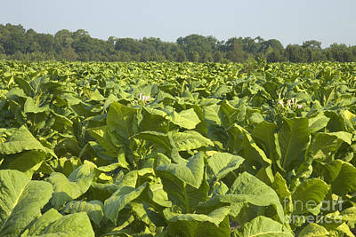 Nicotiana Photograph - Tobacco Field by Inga Spence