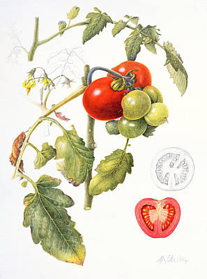 Cut Drawing - Tomatoes by Margaret Ann Eden