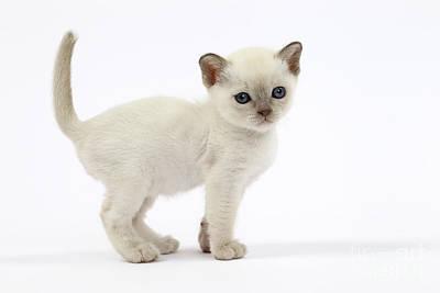 Tonkinese Kitten Art Print