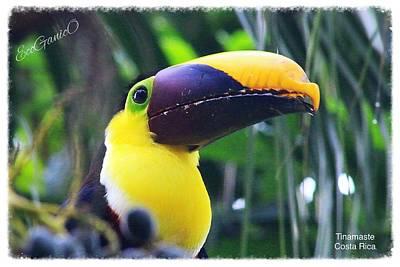 Photograph - Toucan by Pascal Schreier