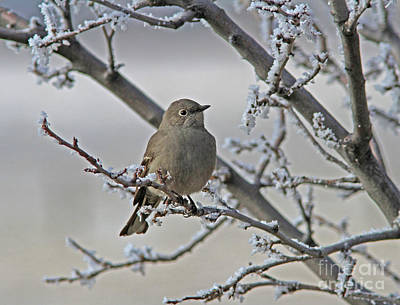 Photograph - Townsend's Solitaire by Gary Wing