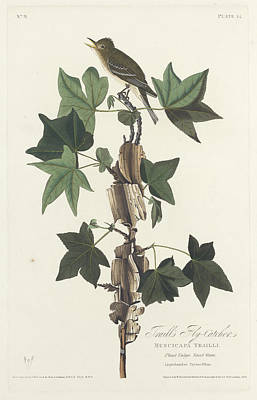 Flycatcher Drawing - Traill's Flycatcher by John James Audubon