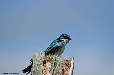 Photograph - Tree Swallow by James Petersen