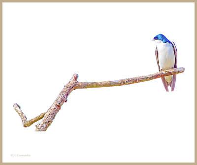 Photograph - Tree Swallow On Branch by A Gurmankin