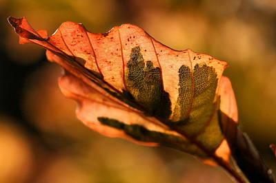 Tri-color Beech In Autumn Art Print by Angela Rath