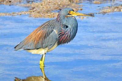 Tri Colored Heron Original by John Absher