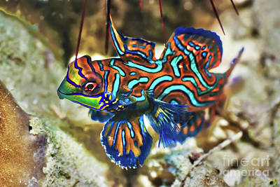 Undersea Photograph - Tropical Fish Mandarinfish by MotHaiBaPhoto Prints