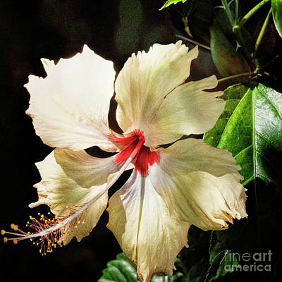 Photograph - Tropical Hibiscus by Karen Lewis
