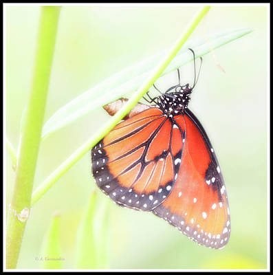 Photograph - Tropical Queen Butterfly, Danaus Gilippus by A Gurmankin