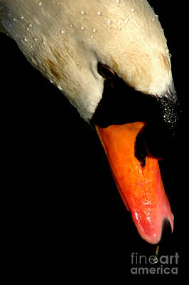 Photograph - Trumpet Swan by Mark Gilman