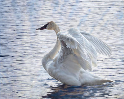 Photograph - Trumpeter Swan Display by Patti Deters