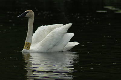 Photograph - Trumpeter Swan  by Ron Read
