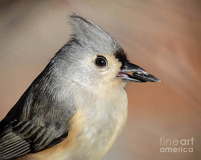 Tufted Titmouse Photograph - Tufted Titmouse by Amy Porter