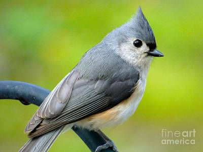 Photograph - Tufted Titmouse by Jean Wright