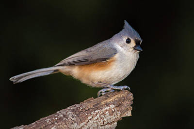 Wall Art - Photograph - Tufted Titmouse by Phil Thach