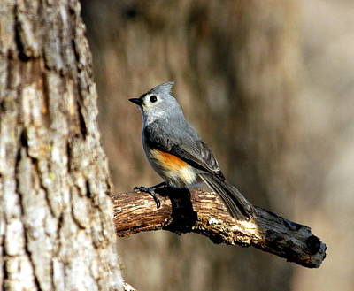 Tufted Titmouse On Branch Art Print by Sheila Brown