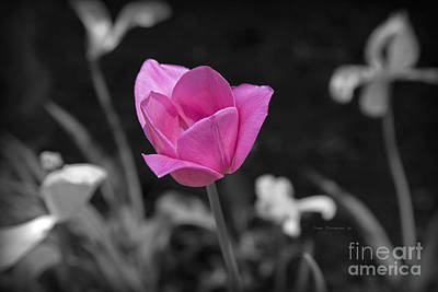 Photograph - Tulip Delight Selective Color by John Stephens