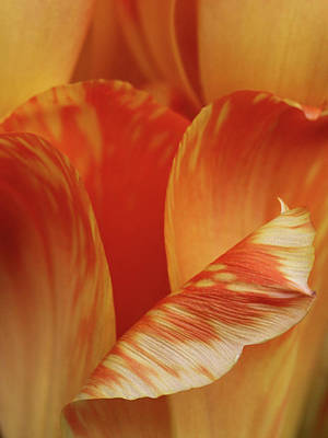 Photograph - Tulip Detail by Inge Riis McDonald