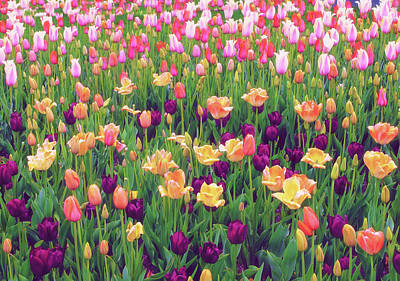 Photograph - Tulip Field by Jessica Jenney