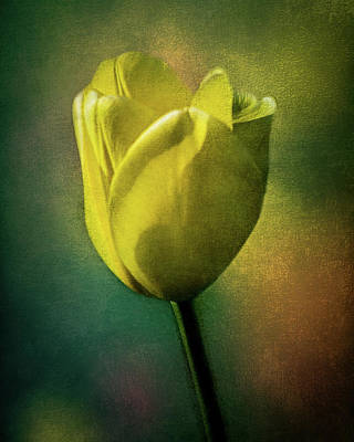 Photograph - Tulip  by Michael Arend