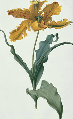 Natural Art Painting - Tulip by Nicolas Robert